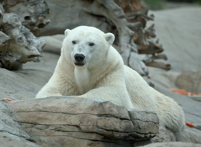 "Male Polar Bear ""Kalluk"""