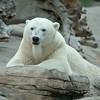 """Male Polar Bear """"Kalluk"""""""