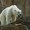 Tatqiq, a female Polar Bear