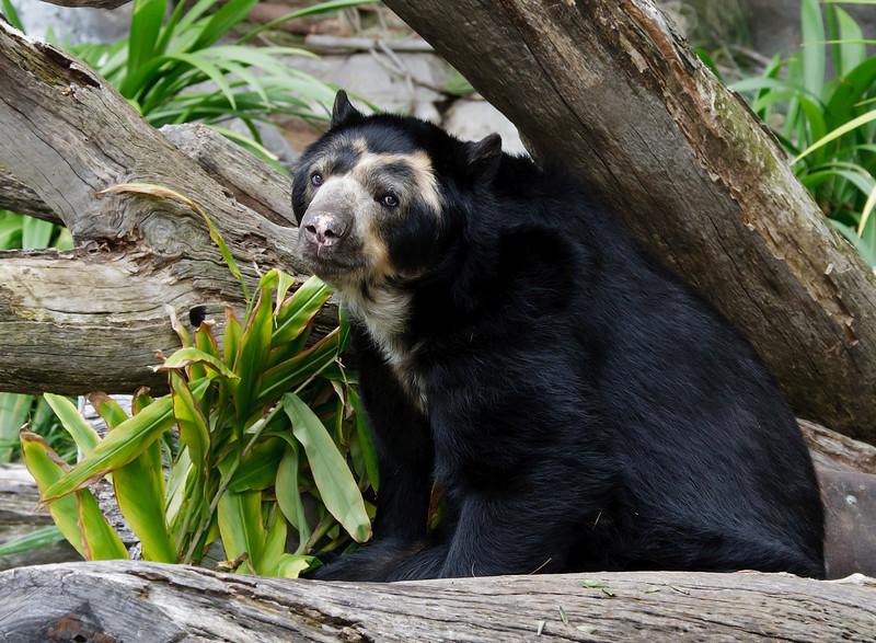 MALE ANDEAN BEAR