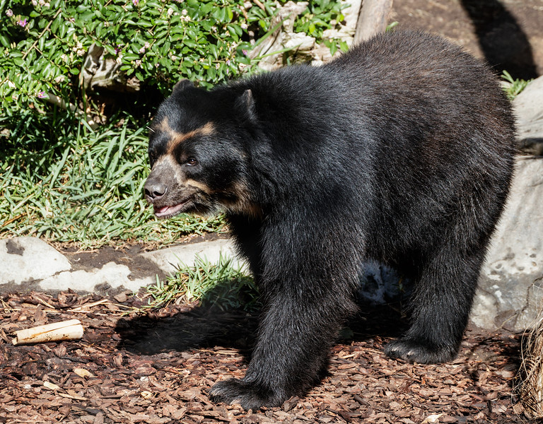 MALE ANDEAN BEAR TURBO.