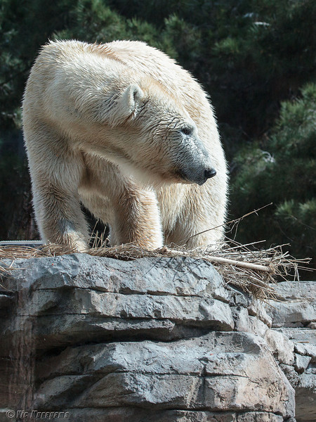 POLAR BEAR<br /> TATQIQ FIXING HER BED