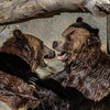 MALE GRIZZLY BEARS<br /> SCOUT(l) AND MONTANA(r)