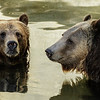 GRIZZLY BEAR BROTHERS MONTANA AND SCOUT