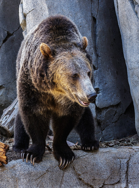 GRIZZLY BEAR<br /> MALE MONTANA