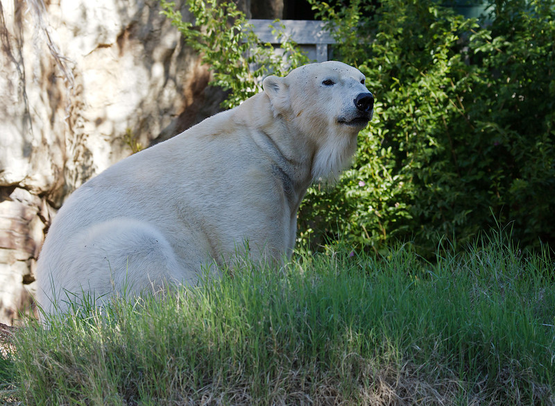 POLAR BEAR<br /> female Chinook