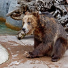 "Grizzly Bear, male ""Scout"""