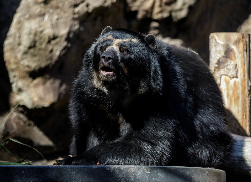 MALE ANDEAN BEAR - TURBO