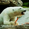 Polar Bear, Tatqiq, a female enjoying her morning snack.