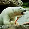 Polar Bear, Tatqiq, a female enjoying her morning snack.