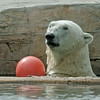 Polar Bear, Kalluk a male