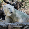 FEMALE POLAR BEAR<br /> TATQIQ