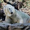 FEMALE POLAR BEAR<br /> TATQIQ
