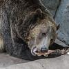 GRIZZLY BEAR<br /> MONTANA