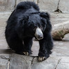 SLOTH BEAR<br /> Ken, an adult male