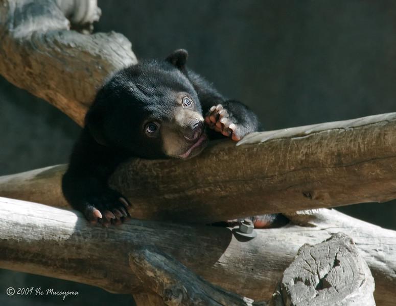 Bornean Sun Bear cub born Oct 25, 2008.