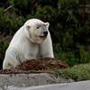 Polar Bear, female Tatqiq