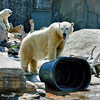 Chinook, a female Polar Bear