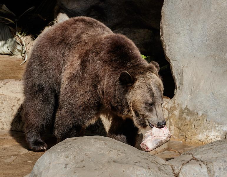 9 YEAR OLD MALE GRIZZLY BEAR SCOUT