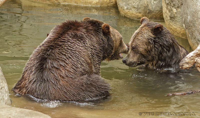 MALE GRIZZLY BEAR BROTHERS SCOUT AND MONTANA
