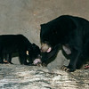 "Bornean Sun Bear cub born Oct 25, 2008 with mom, ""Marcella."""