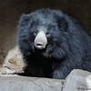 SLOTH BEAR