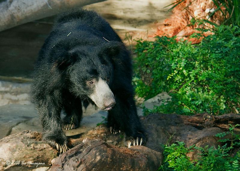 Bhutan, an 8 year-old male Sloth Bear