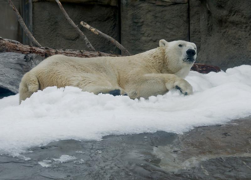 """Snow Day"" for the Polar Bears - male Kalluk."