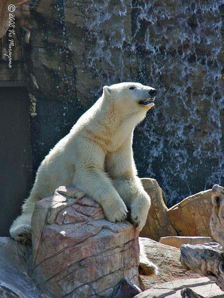 Tatqiq, a female Polar Bear