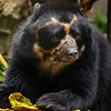 TURBO, A MALE ANDEAN BEAR