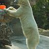Kalluk, a male Polar Bear standing tall.