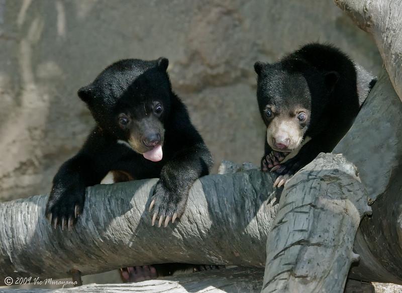 Bornean Sun Bear cubs born Oct 25, 2008.