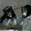 Bornean Sun Bear cubs born Oct 25, 2008.