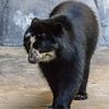 ALBA, A JUVENILE FEMALE ANDEAN BEAR.
