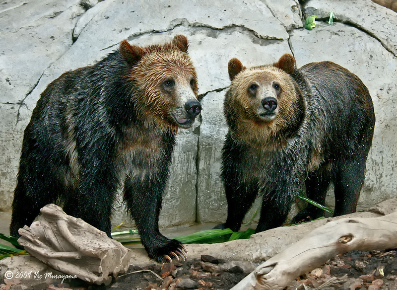 "Male Grizzly Bear brothers ""Montana"" and ""Scout"""