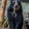 ALBA, A YOUNG FEMALE ANDEAN BEAR.