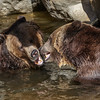 MALE GRIZZLY BEARS<br /> SCOUT(r) AND MONTANA(l)