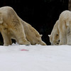 """Snow Day"" for the Polar Bears - male Kalluk (L), female Tatqiq (R)."