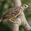 FEMALE FAWN-BREASTED BOWERBIRD