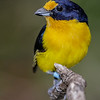 VIOLACEOUS EUPHONIA - <br /> MALE