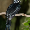 FEMALE LONG-TAILED HORNBILL