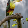 FEMALE CURL-CRESTED ARACARI