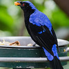 FAIRY BLUEBIRD<br /> male