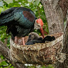 BALD IBIS CHICK WITH ADULT MALE.