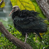 SOUTHERN BALD IBIS FLEDGLING