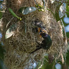 METALLIC STARLING NEST