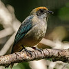 FEMALE RUFOUS-CROWNED TANAGER