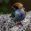 MALE RUFOUS-CROWNED TANAGER