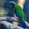 MALE ORANGE-BELLIED LEAFBIRD
