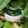 BLUE-CHINNED EMERALD